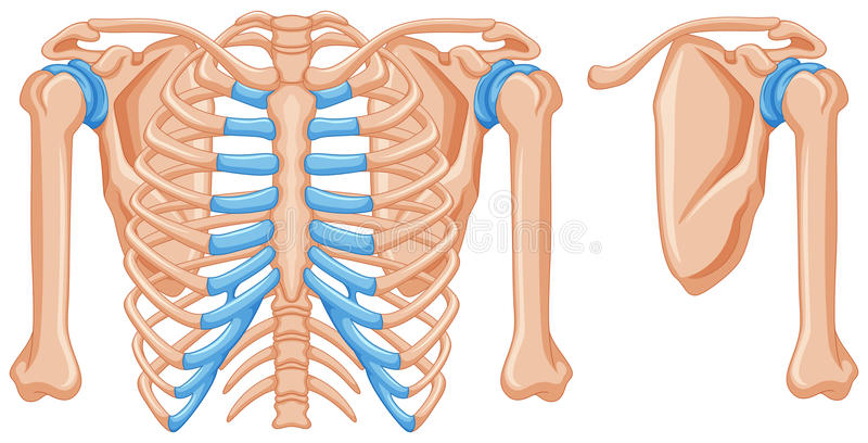 Structure Of Shoulder Bones Stock Vector - Illustration of anatomy ...