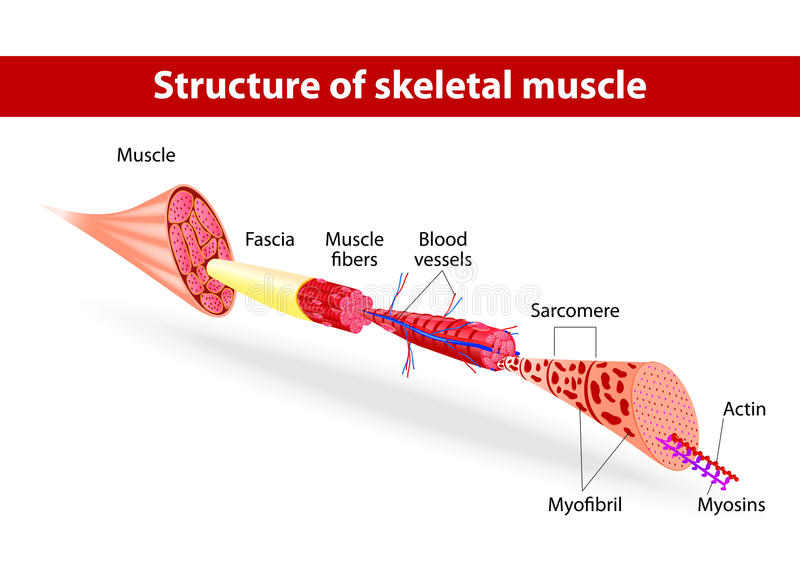 Structure of skeletal muscle vector illustration
