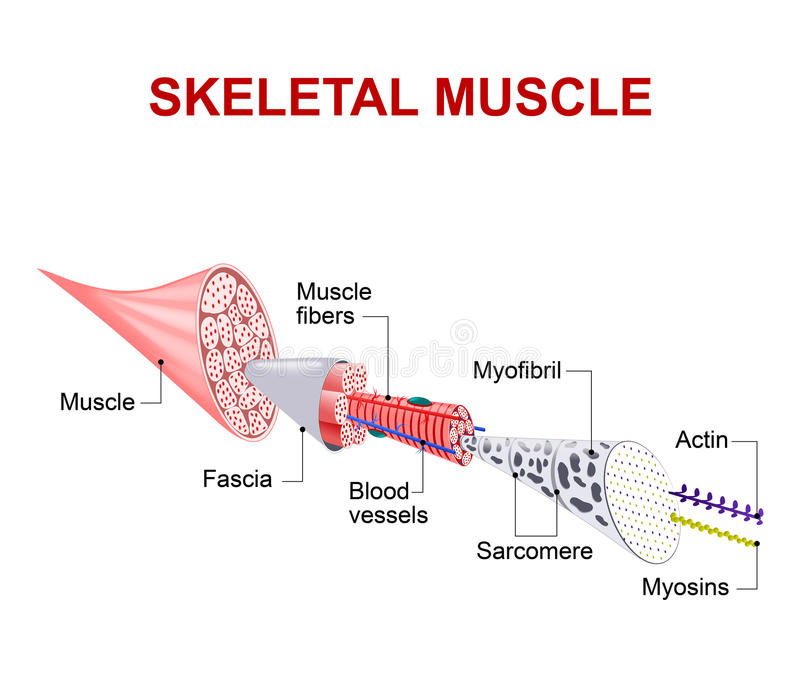 Structure of skeletal muscle. Each skeletal muscle fiber has many bundles of myofilaments. Each bundle is called a myofibril. This is what gives the muscle its royalty free illustration