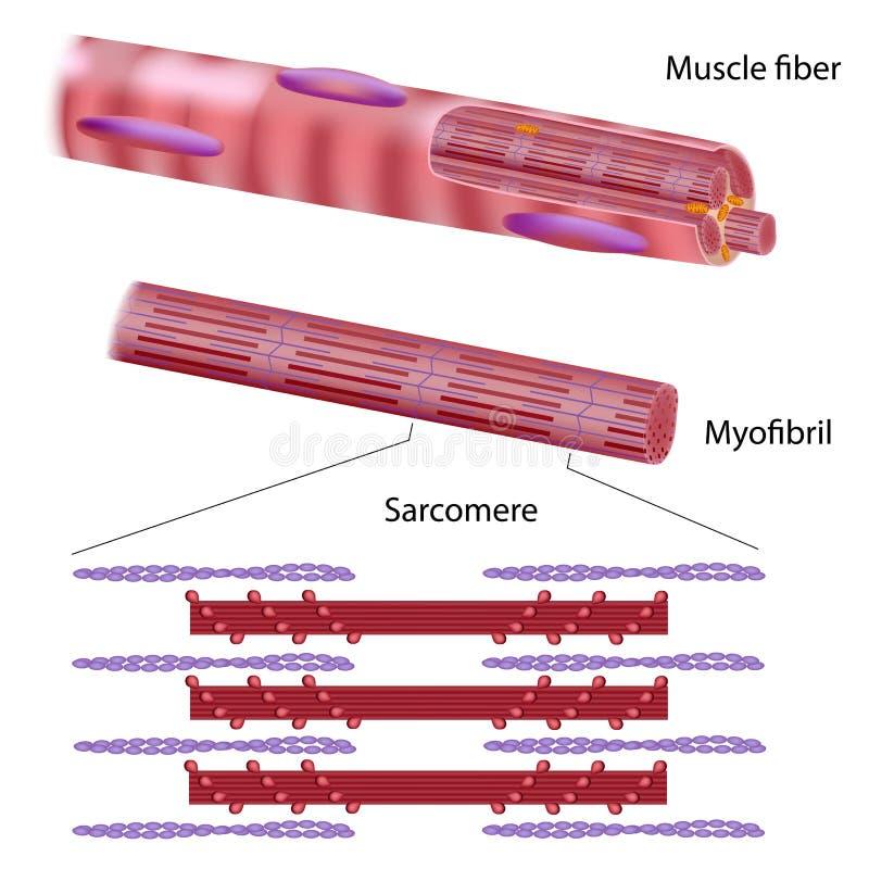 Structure of skeletal muscle fiber vector illustration