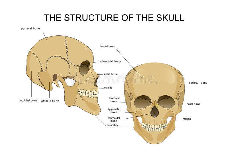 The structure of the skull vector illustration