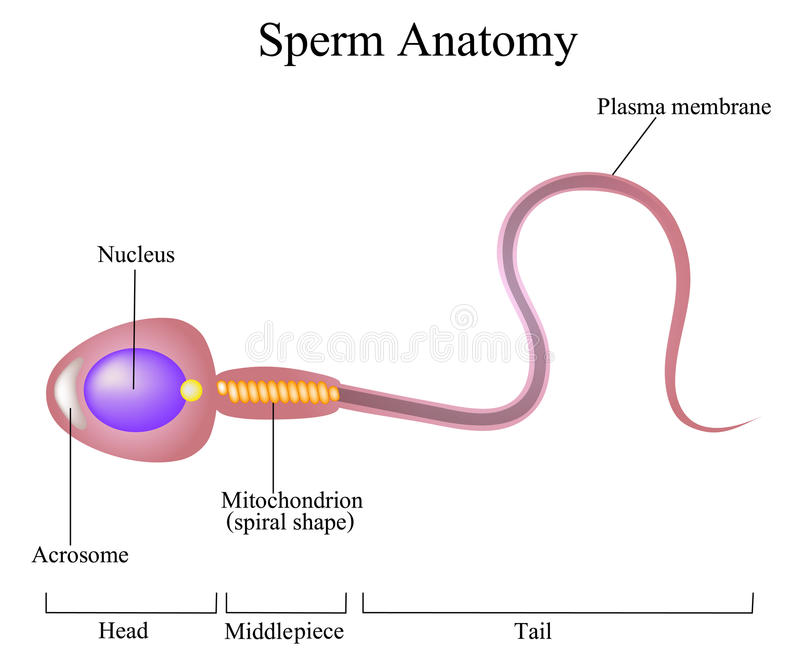 Structure of a sperm cell. Vector vector illustration