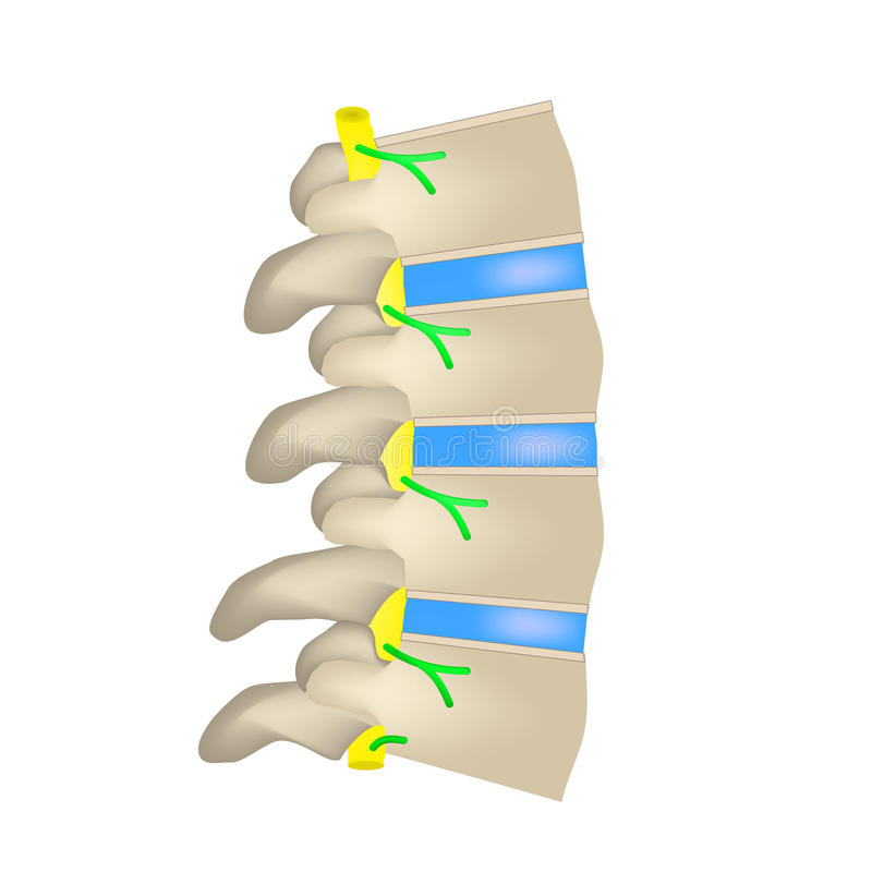 The structure of the spine. Side view. The intervertebral discs. Infographics. Vector illustration on isolated background. The anatomical structure of the spine royalty free illustration