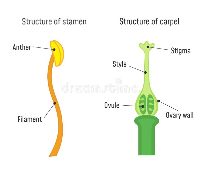 Structure of Stamen and Carpel. Flower part diagram stock illustration