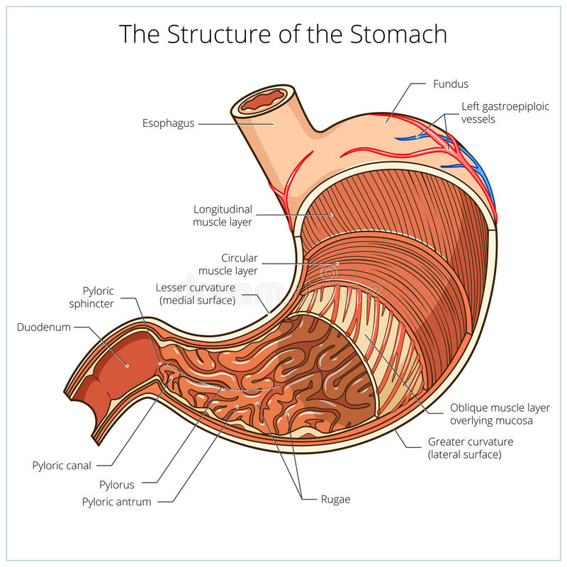 Famous stomach rugae ensign anatomy and physiology biology images structure of stomach medical educational vector stock vector ccuart Image collections