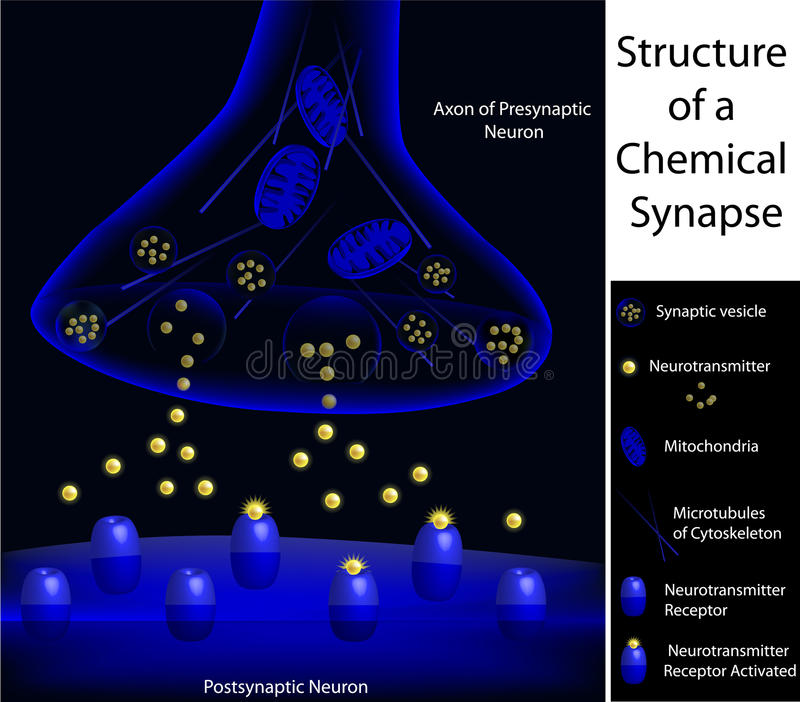 Structure of a synapse, textbook accuracy