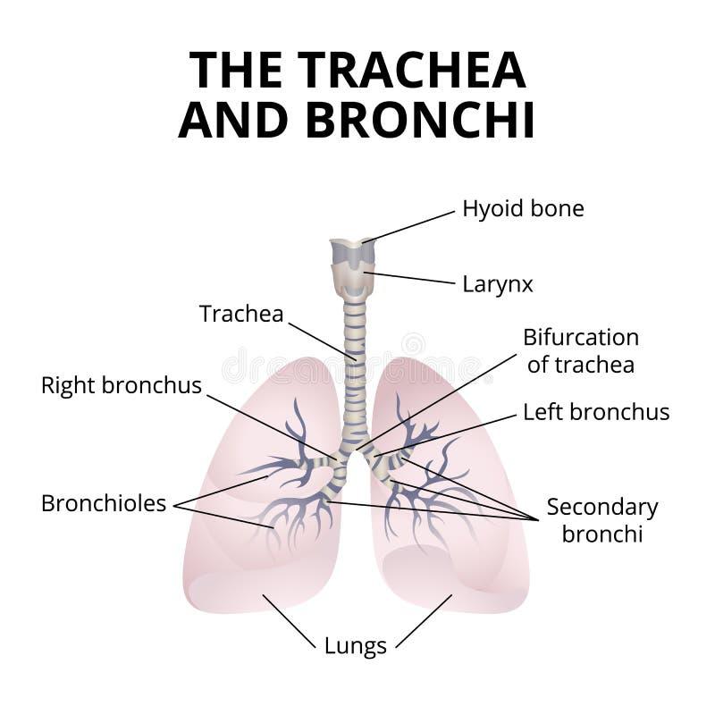 Human Respiratory Organs Stock Vector Illustration Of Biology