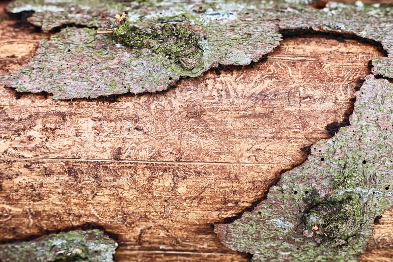 Structure of a tree with a bark beaten with a shovel. The structure of the tree is eaten by a bark beetle with pieces of bark close up. Abstraction from a tree stock photography