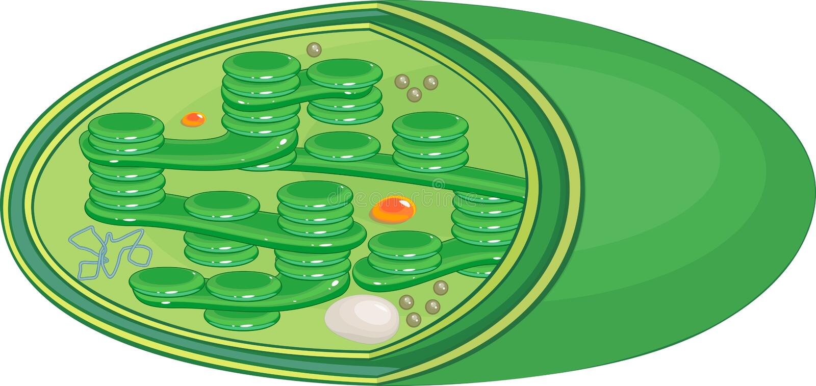 Structure of chloroplast. Structure of typical higher-plant chloroplast royalty free illustration