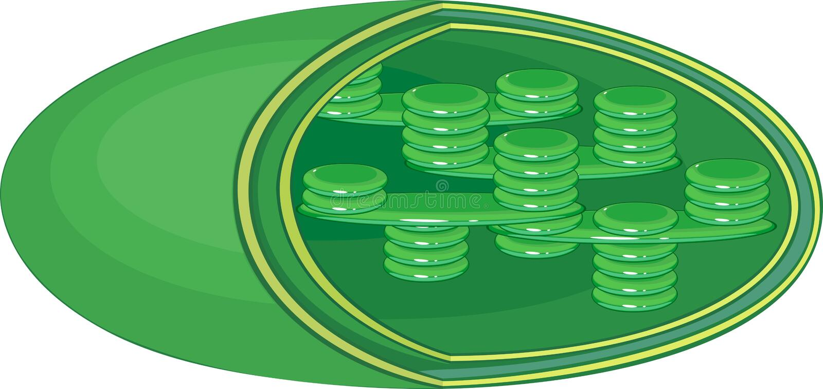 Structure of chloroplast. Structure of typical higher-plant chloroplast stock illustration