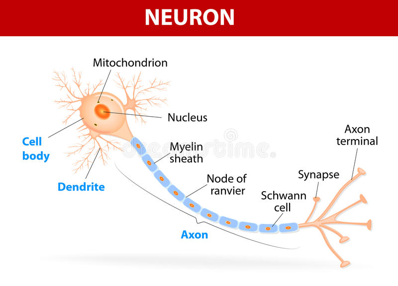 Structure of a typical neuron royalty free stock photos