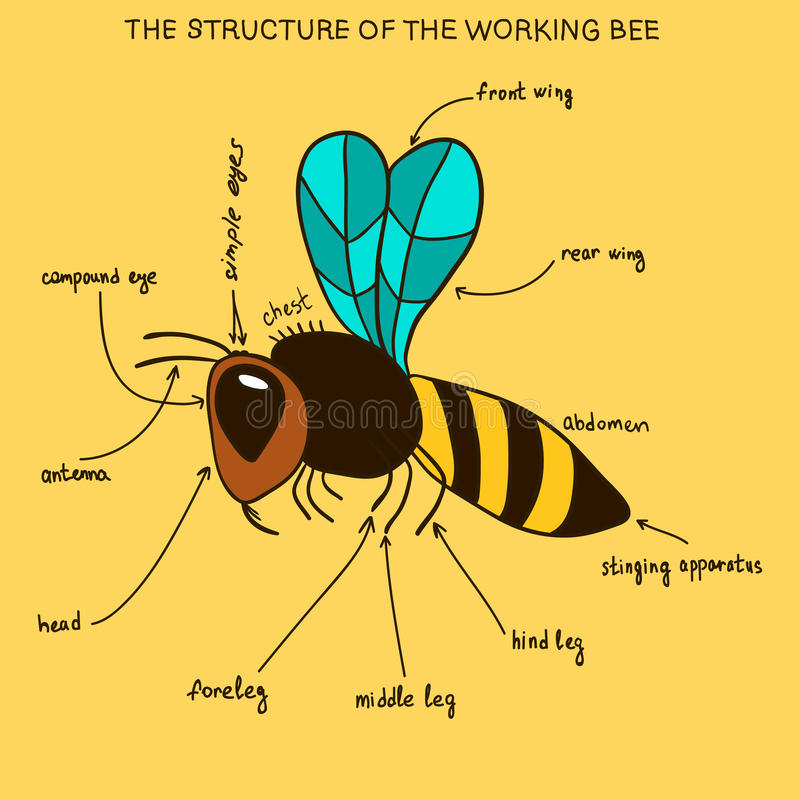 The structure of the working bee (doodle). Information poster with a picture of the outer structure of the body of the bee. Bee infographics stock illustration