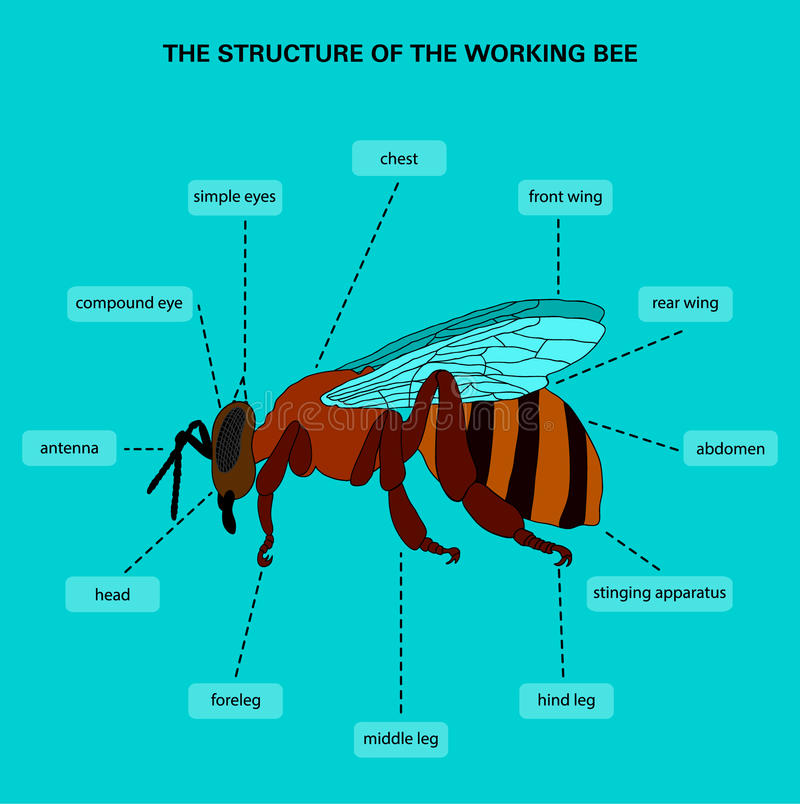 The Structure Of The Working Bee Stock Illustration - Illustration ...