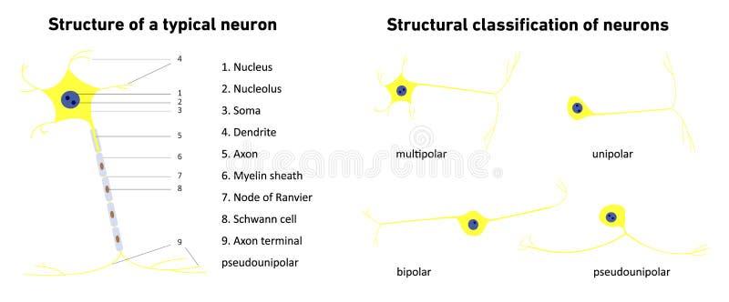 Structurele classificatie van neuronen en structuur van een typisch neuron; vector illustratie