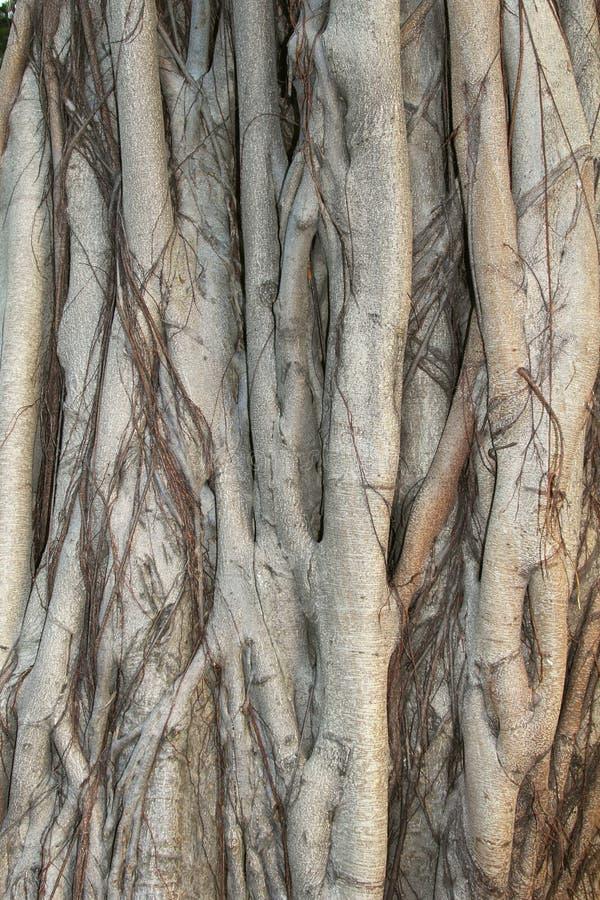 Structuren van een Banyan-boom in dichte omhooggaand stock fotografie