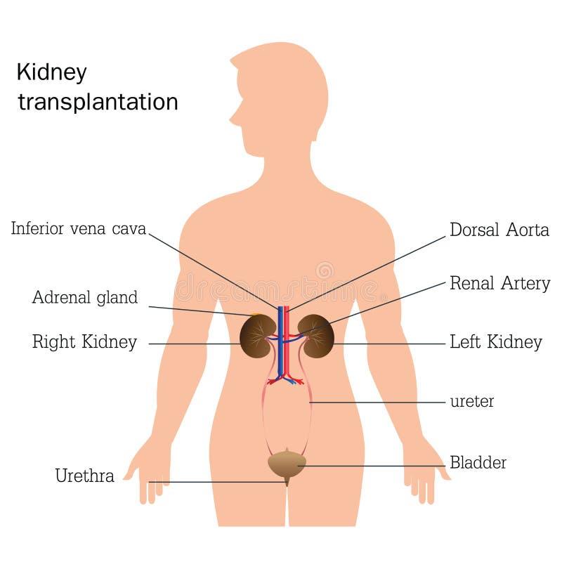 Structuur en functie van urinesysteem royalty-vrije illustratie