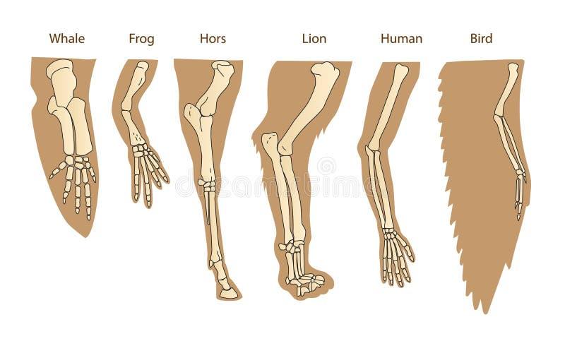 Structuur Forelimb van Zoogdieren Menselijk wapen Lion Forelimb Walvis Front Flipper Vogelvleugel royalty-vrije illustratie