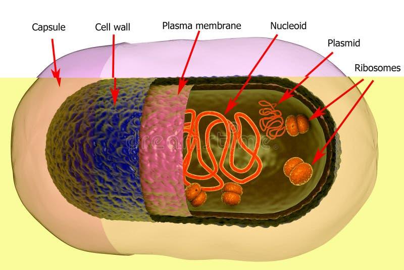 Structuur van Bacteriële Cel royalty-vrije illustratie