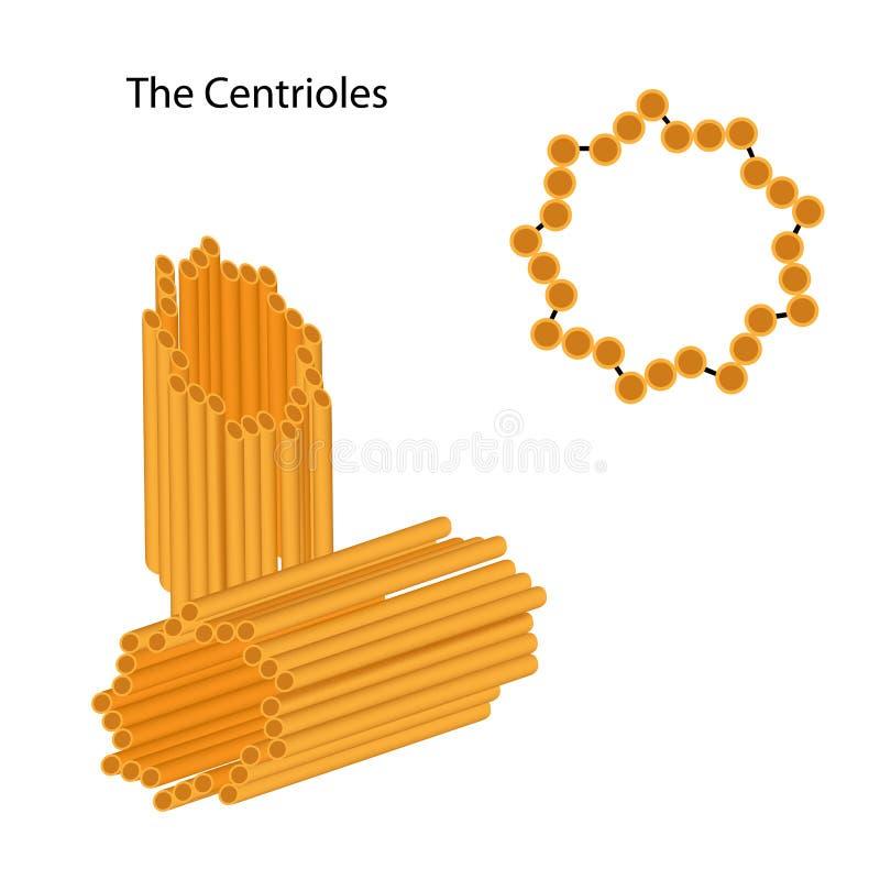Structuur van centrioles vector illustratie