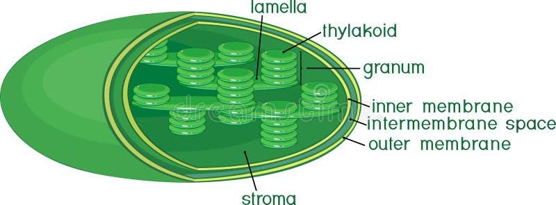 Structuur van chloroplast met titels vector illustratie