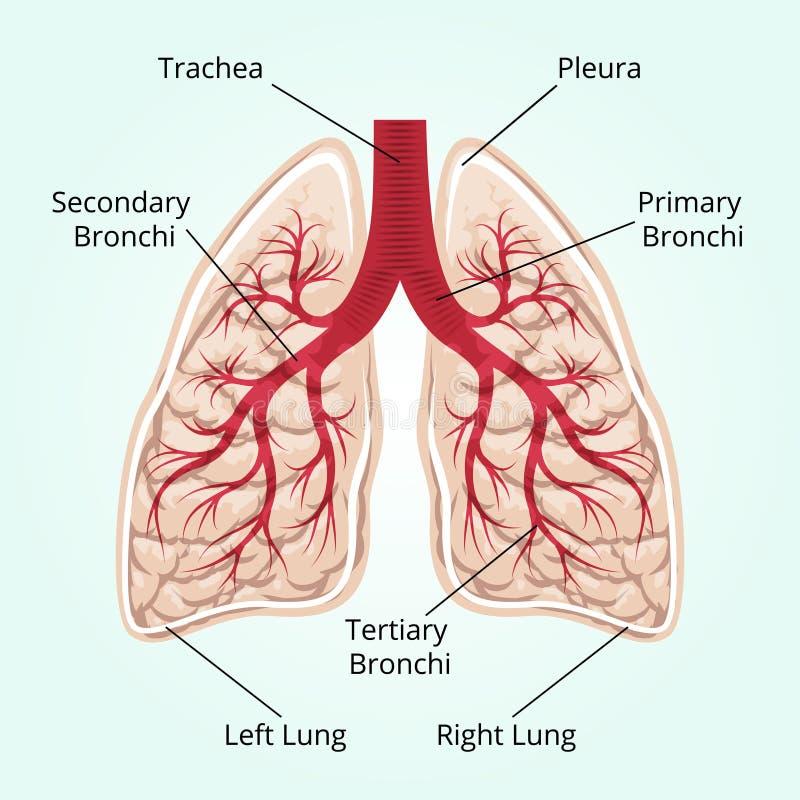 Structuur van de longen stock illustratie