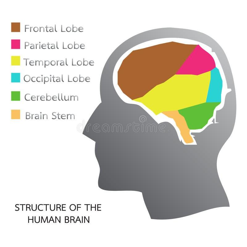 Structuur van de Menselijke Hersenen vector illustratie
