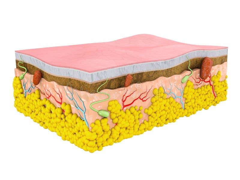 Structuur van de menselijke huid Lagen en cellen, geïsoleerd wit stock illustratie