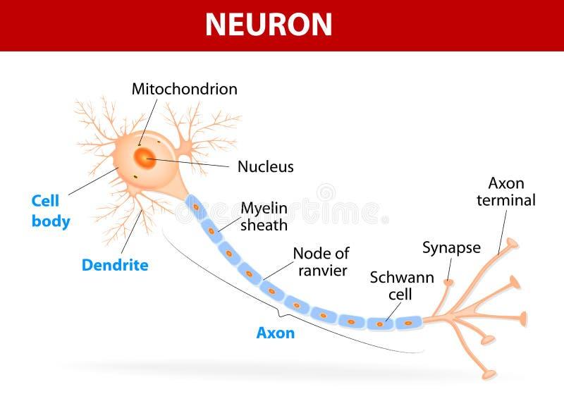 Structuur van een typisch neuron stock illustratie