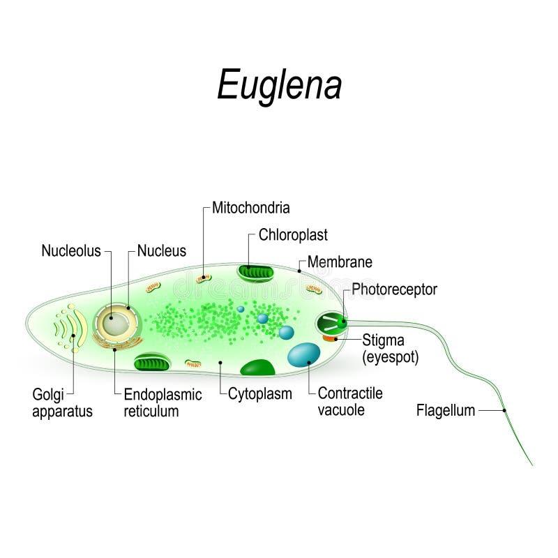 Structuur van euglena stock illustratie