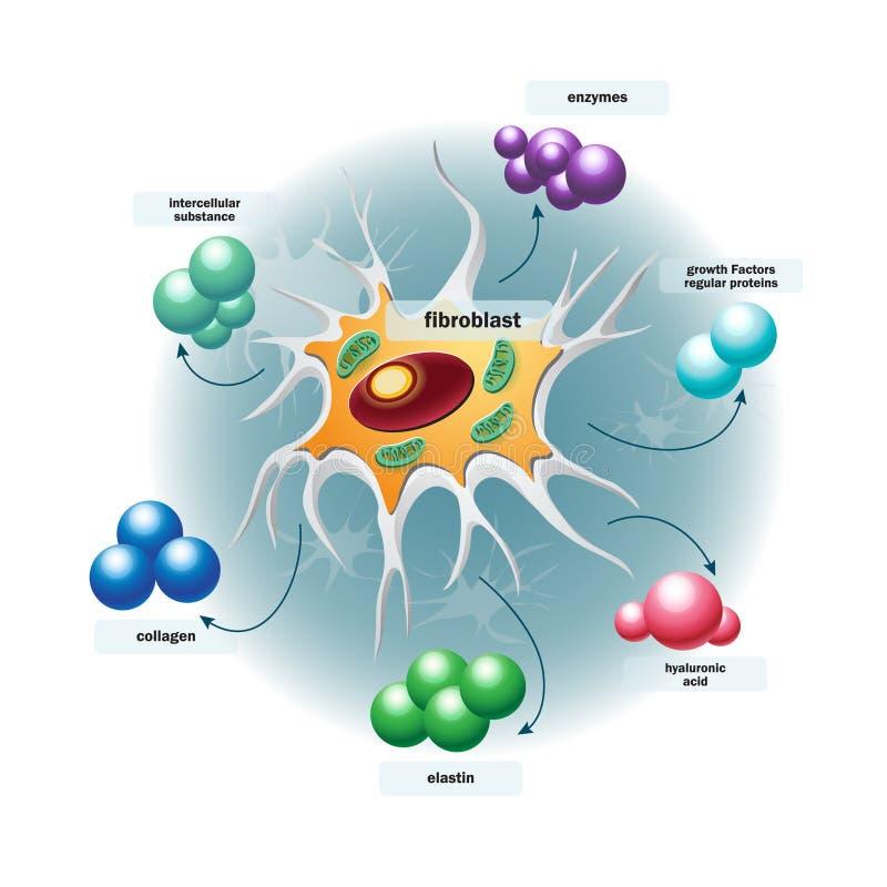 Structuur van fibroblastcellen vector illustratie