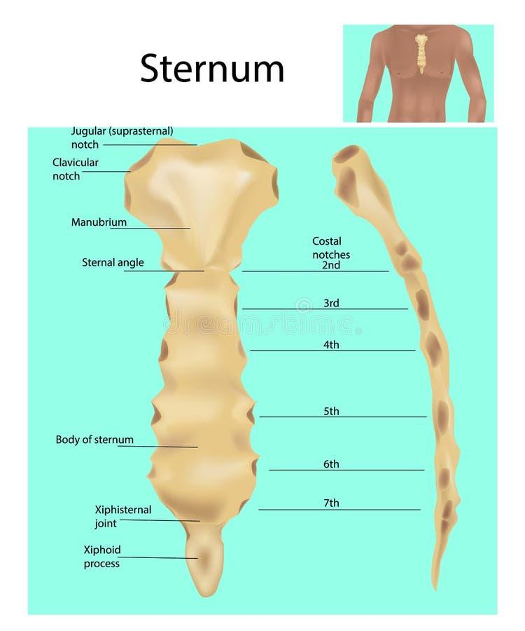 Structuur van het Borstbeen of het borstbeen vector illustratie