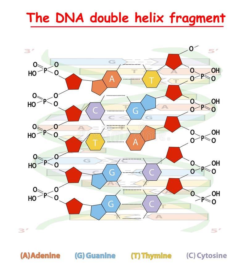 Structuur van het de schroeffragment van DNA de dubbele: Nucleotide, Fosfaat, Suiker, en basissen DNA-grafische onderwijsinformat royalty-vrije illustratie