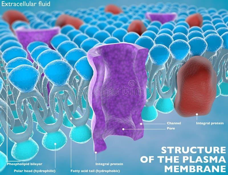 Structuur van het plasmamembraan stock illustratie