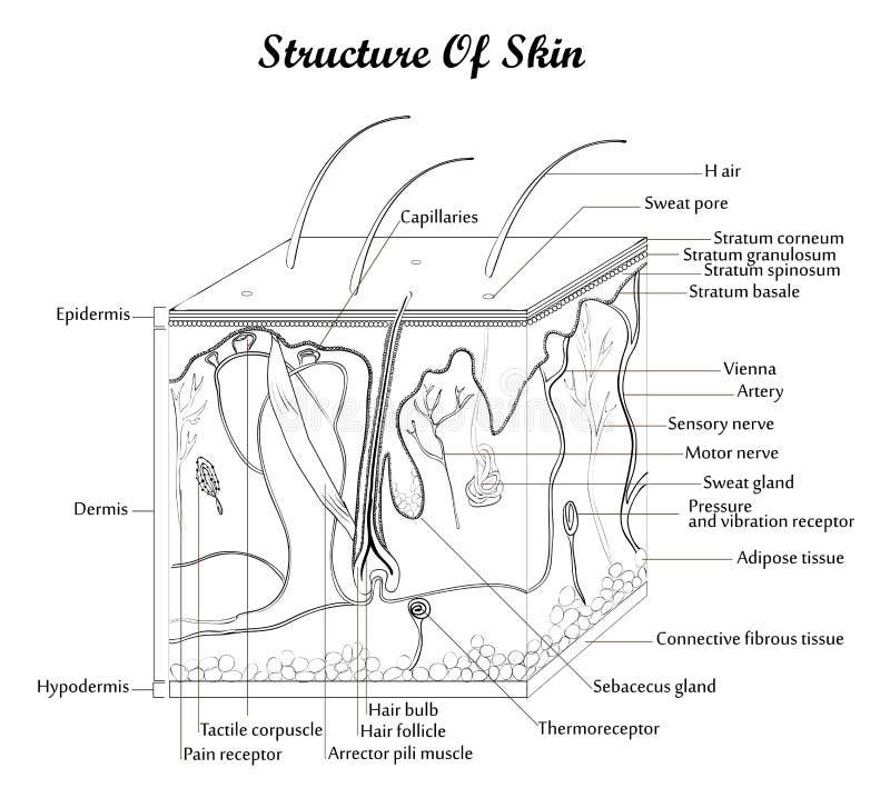 Structuur van huid stock illustratie