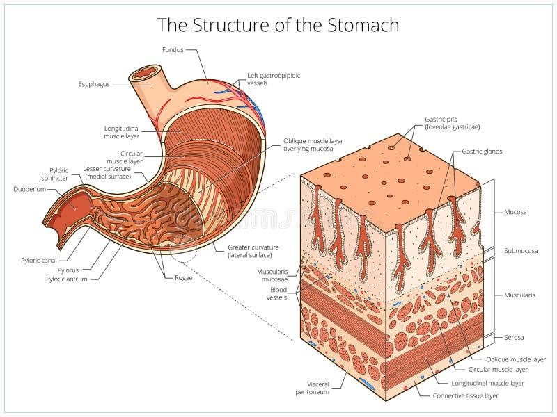 Structuur van maag medische onderwijsvector stock illustratie