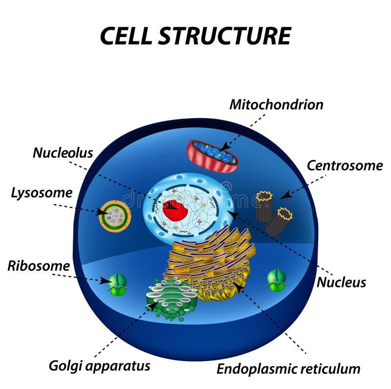 Structuur van menselijke cellen organellen De kernkern, endoplas stock illustratie