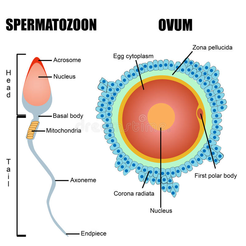 Structuur van menselijke gametes: ei en sperma royalty-vrije stock afbeeldingen
