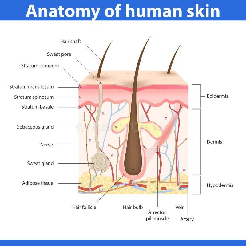 Structuur van menselijke huid, vectorillustratie royalty-vrije illustratie