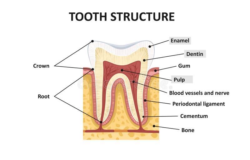 Structuur van menselijke tanden vector illustratie