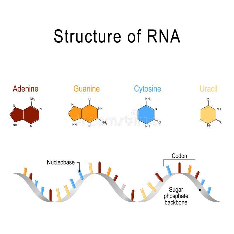 Structuur van RNA stock illustratie