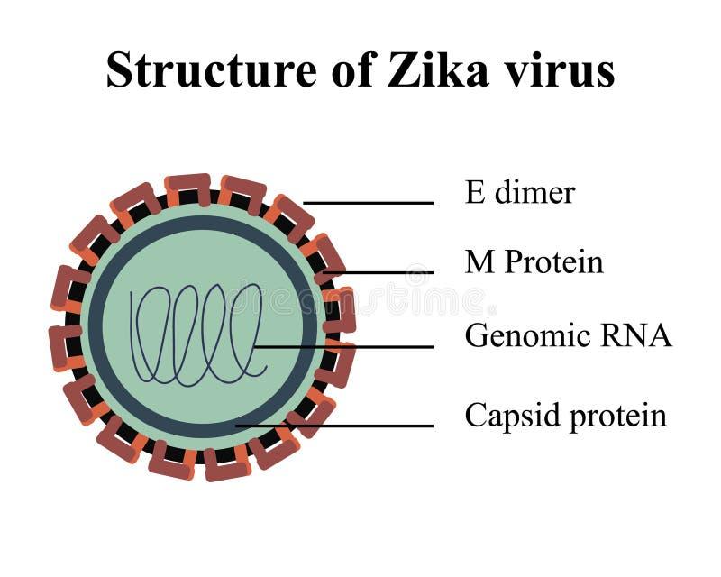 Structuur van Zika-virus royalty-vrije illustratie