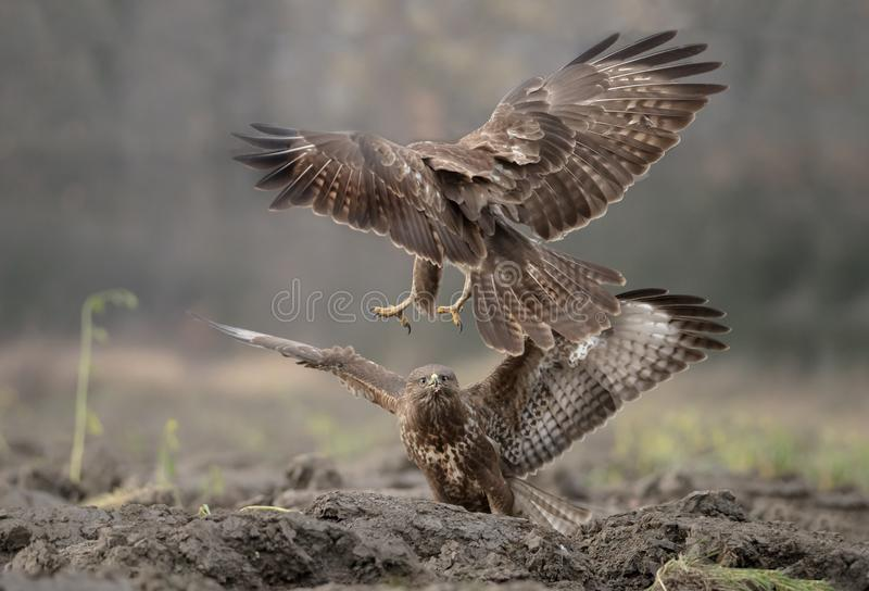 Struggle of buzzards stock images