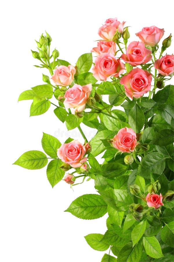 Struik met roze rozen en groene leafes stock afbeelding