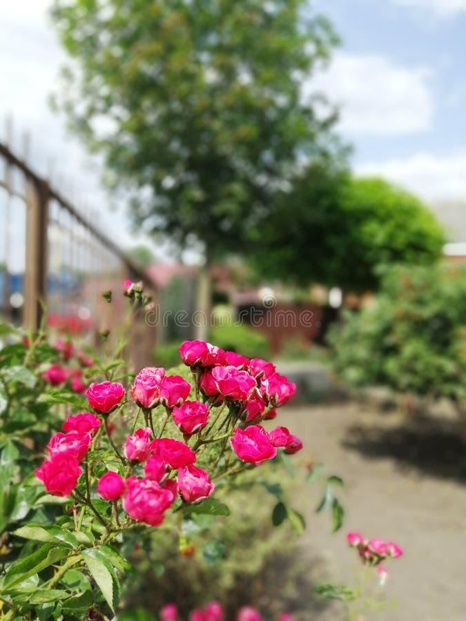 Struik roze rozen in de tuin royalty-vrije stock afbeeldingen
