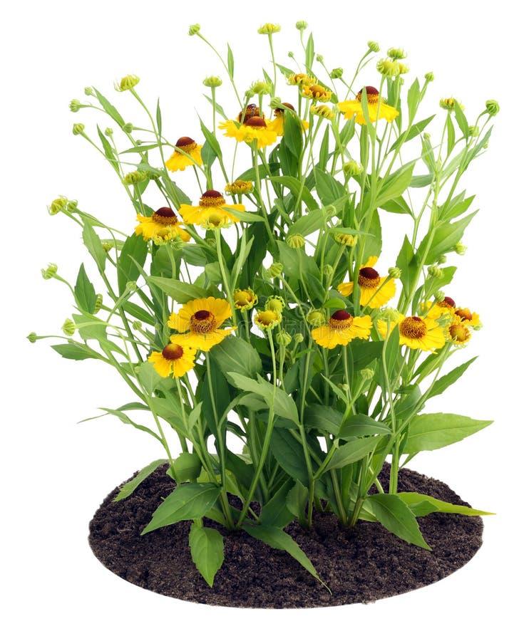Struik van bloemen Coreopsis op bed stock afbeeldingen