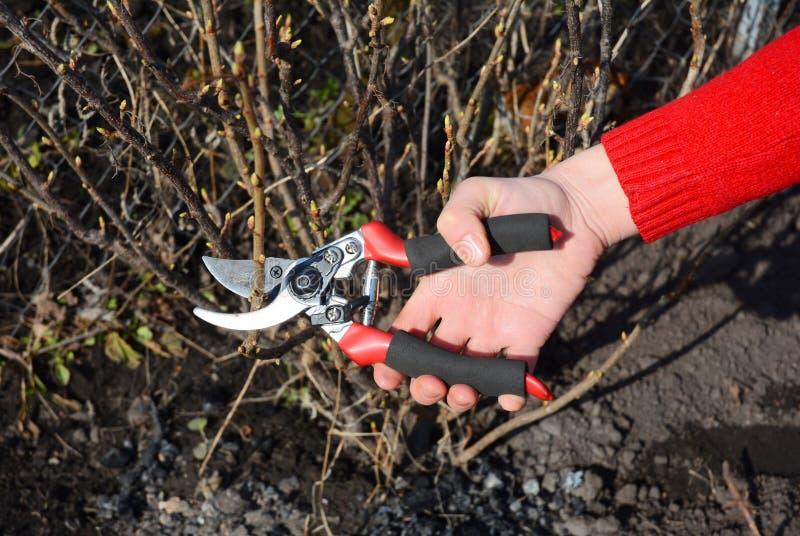 Struik van de tuinman de scherpe bes met omleidingssnoeischaar in de vroege lente stock foto's