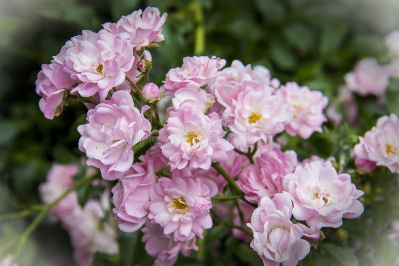 Struik van Floribunda de roze rozen stock afbeelding