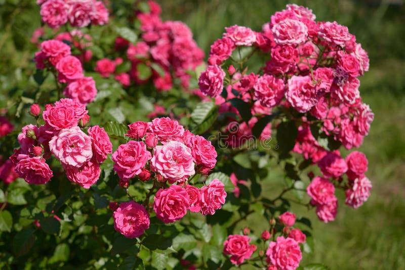 Struik van roze rozen stock afbeelding