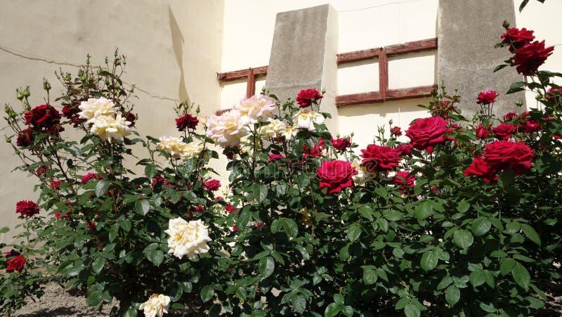 Struiken met rozen stock afbeelding