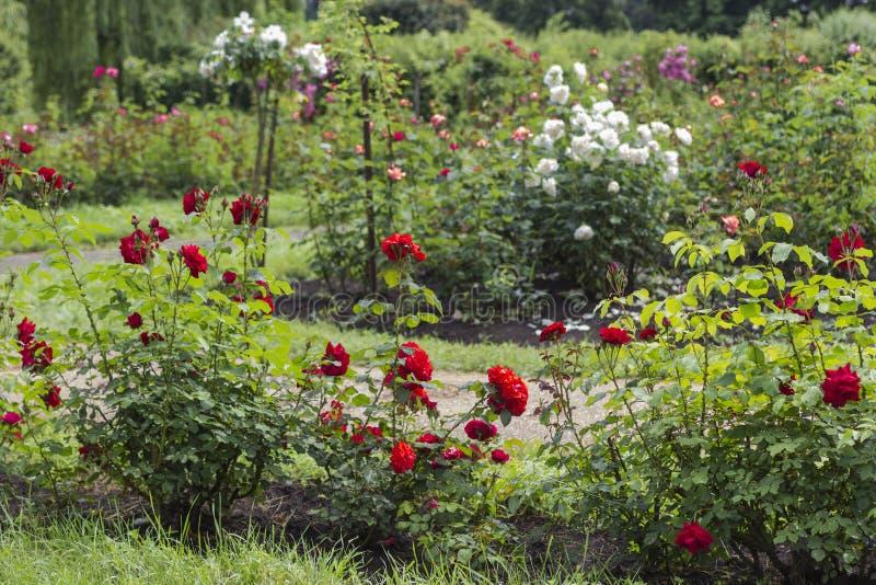 Struiken van rode en witte rozen in de tuin stock afbeelding